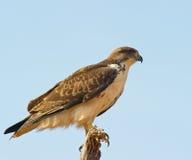 El halcón del Augur imagen de archivo libre de regalías
