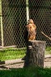 El halcón del halcón se sienta en un árbol Fotografía de archivo libre de regalías