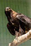 El halcón del halcón se sienta en un árbol Imágenes de archivo libres de regalías