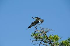 El halcón del mar toma vuelo Foto de archivo