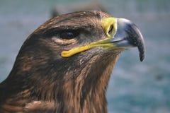 El halcón es similar a Eagle Las aves rapaces también fotografía de archivo libre de regalías
