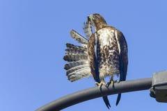 El halcón ferruginoso, pone el nwr de edwards, Ca Imagen de archivo libre de regalías
