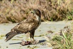 El halcón ferruginoso, pone el nwr de edwards, Ca Fotos de archivo