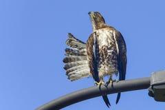 El halcón ferruginoso, pone el nwr de edwards, Ca Foto de archivo