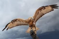 El halcón ha separado las alas. Imagenes de archivo