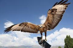 El halcón ha separado las alas. Foto de archivo libre de regalías