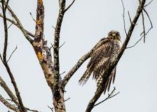 El halcón mojado Fotografía de archivo libre de regalías