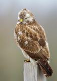 El halcón parece enojado Fotografía de archivo