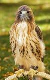 El halcón Rojo-Atado (jamaicensis del Buteo) se sienta en perca Fotos de archivo