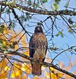 El halcón se encaramó en un árbol con colores del otoño. Imágenes de archivo libres de regalías