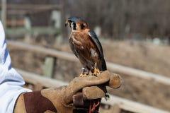 El halcón se sienta en la mano humana en parque zoológico Imagenes de archivo