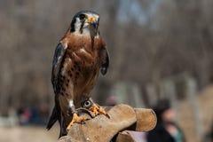 El halcón se sienta en la mano humana en parque zoológico Imágenes de archivo libres de regalías
