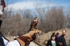 El halcón se sienta en la mano humana en parque zoológico Fotografía de archivo libre de regalías