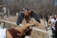 El halcón se sienta en la mano humana en parque zoológico Foto de archivo