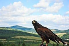 El halcón ve Fotos de archivo libres de regalías