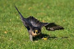 El halc?n de peregrino, peregrinus de Falco Los animales m?s r?pidos del mundo imagenes de archivo