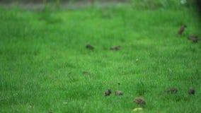 El hallazgo exuberante del grupo del gorrión y come la comida en el piso/la tierra de las hierbas en el jardín y el parque almacen de metraje de vídeo