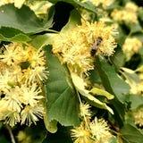 El hamamelis floreciente de la flor de las demostraciones coloridas de la foto Fotografía de archivo libre de regalías