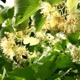 El hamamelis floreciente de la flor de las demostraciones coloridas de la foto Fotos de archivo libres de regalías
