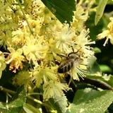El hamamelis floreciente de la flor de las demostraciones coloridas de la foto Imágenes de archivo libres de regalías