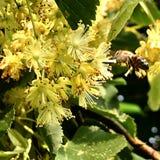 El hamamelis floreciente de la flor de las demostraciones coloridas de la foto Foto de archivo