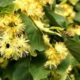 El hamamelis floreciente de la flor de las demostraciones coloridas de la foto Imagenes de archivo