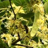 El hamamelis floreciente de la flor de las demostraciones coloridas de la foto Imagen de archivo libre de regalías