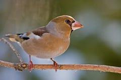 El Hawfinch Fotografía de archivo
