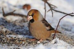 El hawfinch se sienta en la nieve con las semillas dispersadas que doblan la cabeza, sol de la mañana refleja en ojos Foto de archivo
