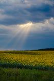 El haz de Sun sobre los girasoles coloca en verano imágenes de archivo libres de regalías