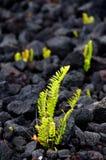 El helecho de Amau se rompe a través de campo de lava cerca de la cadena del camino de los cráteres Fotografía de archivo