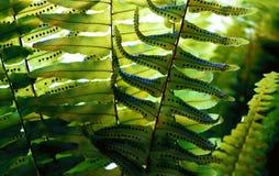 El helecho deja textura de la semilla con la luz del sol del verano Bosque exótico imágenes de archivo libres de regalías