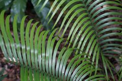 El helecho tropical alargado se va abstracto fotos de archivo