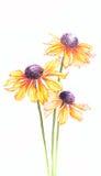 El helenium anaranjado de la acuarela florece en la vertical blanca del fondo Fotografía de archivo libre de regalías