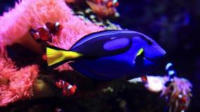 El hepatus de Paracanthurus - Tang azul - adentro ve el acuario almacen de video