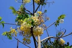 El hermoso de las flores de Siam White Cassia imagen de archivo libre de regalías