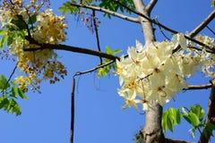 El hermoso de las flores de Siam White Cassia fotos de archivo