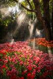 El hermoso del jardín de flores de los tulipanes en Países Bajos Imagenes de archivo