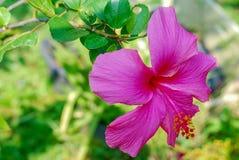 El hibisco chino rojo, China subió, hibisco hawaiano florece fotos de archivo