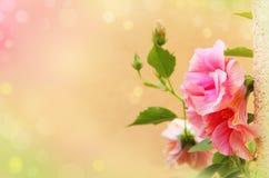 El hibisco delicado florece el fondo Fotografía de archivo