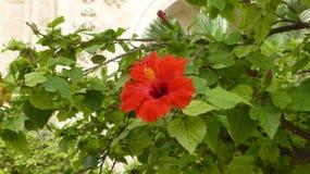 El hibisco es una planta hermosa Fotos de archivo