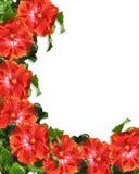 El hibisco florece el fondo de la frontera Imágenes de archivo libres de regalías