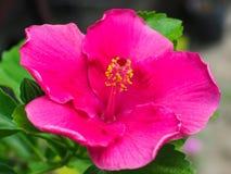 El hibisco grande Foto de archivo libre de regalías