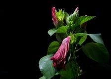 El hibisco rojo florece, las flores rojas en un fondo negro Flores Fotos de archivo libres de regalías