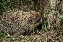 El hidgehog ordinario camina por la tarde en verano fotografía de archivo libre de regalías