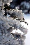 El hielo cubrió la conífera de las ramas Foto de archivo libre de regalías