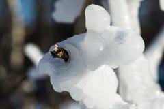 El hielo cubrió ramas de árbol Foto de archivo libre de regalías