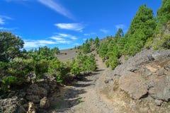 EL Hierro - Kiefern der Kanarischen Insel bei Camino de la Virgen Lizenzfreie Stockfotografie
