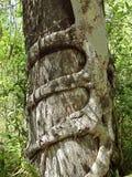 El higo de estrangulador estrangula un árbol de Cypress Imagenes de archivo