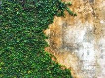 El higo del arrastramiento de la planta del higo o el pumila verde de los ficus que sube que crece y cubrir en el cemento wallGre imágenes de archivo libres de regalías